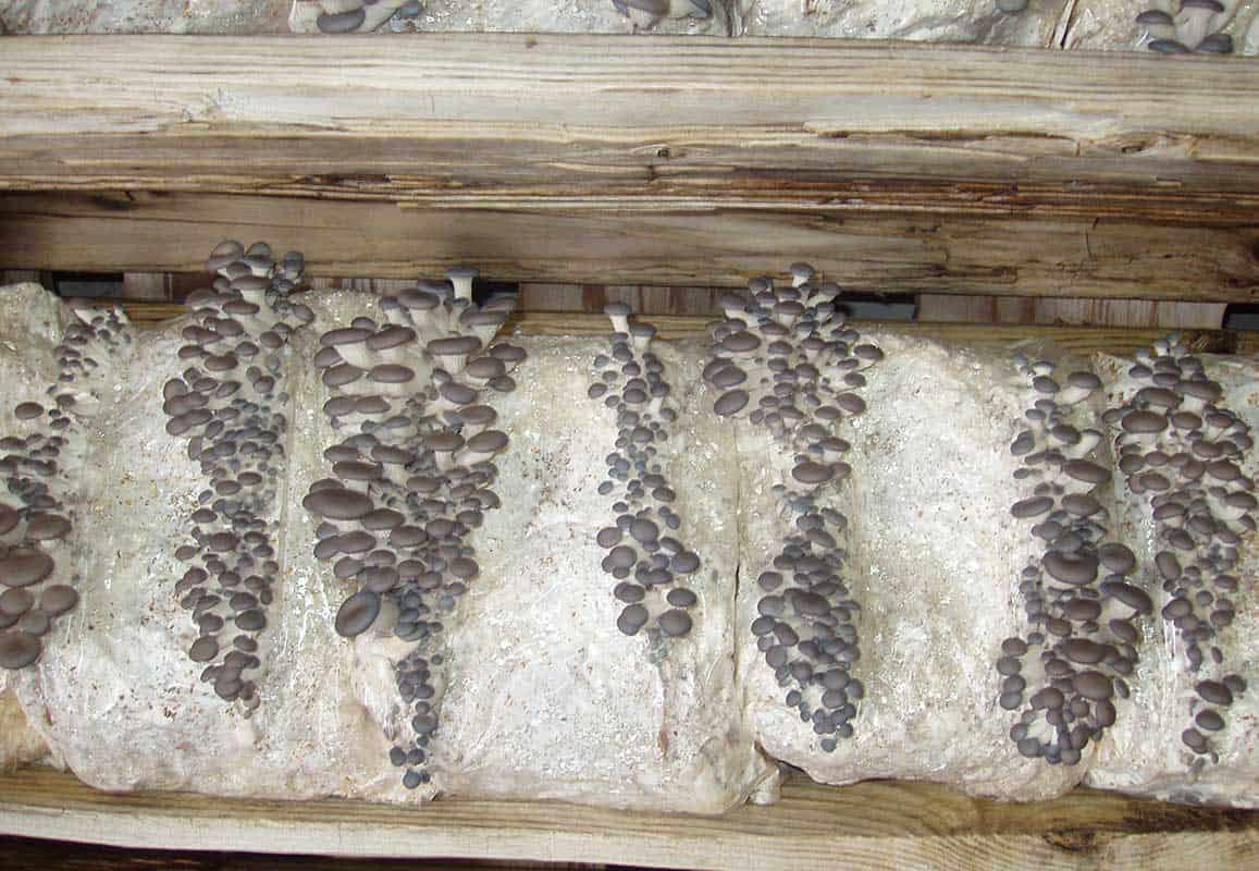 Pleurotus ostreatus en sustrato estéril