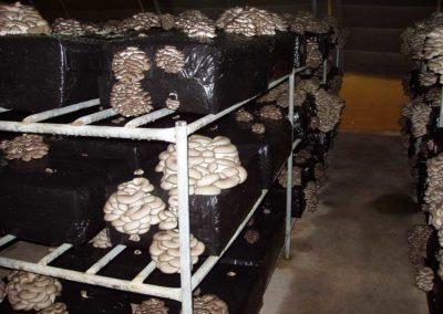 Setas desarrolladas, cultivo sobre estanteria, sala de cultivo invernadero